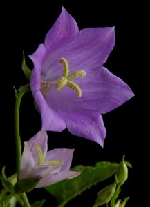 Picture of Purple Bell Flower