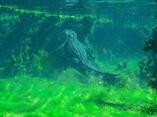 Alligator At Alexander Springs - Dayo Scuba Picture Gallery