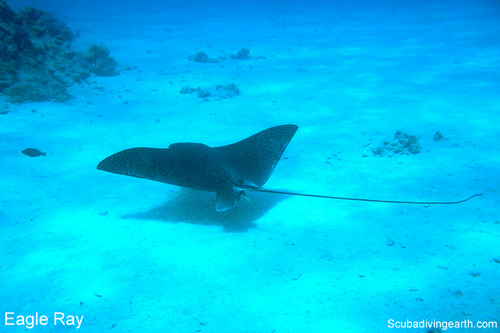 Eagle Ray lives on the Great Barrier Reef