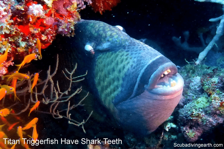 Titan Triggerfish have sharp teeth and bite scuba divers