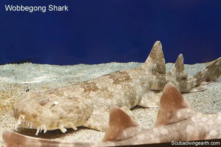 Wobbegong shark lives on the Great Barrier Reef