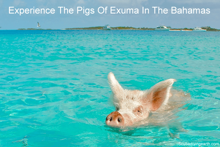 Experience The Pigs Of Exuma In The Bahamas