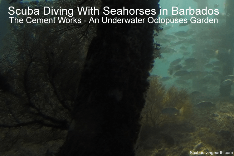 Scuba Diving With Seahorses in Barbados - The Cement Works an Octopuses Garden
