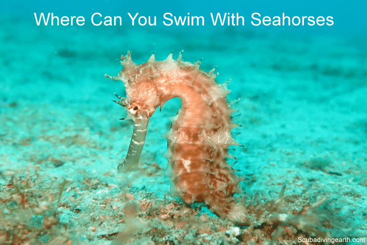 Where Can You Swim With Seahorses (Best Place To Scuba Dive With Seahorses)