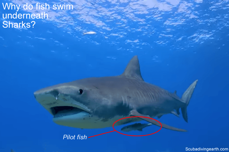 Why do fish swim underneath Sharks