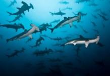 fishinfocus, Mario Vitalini< scalloped Hammerhead,