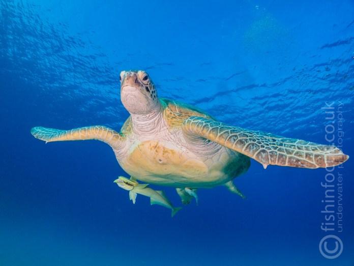 Scuba Travel, Turtle, Mario Vitalini, fishinfocus