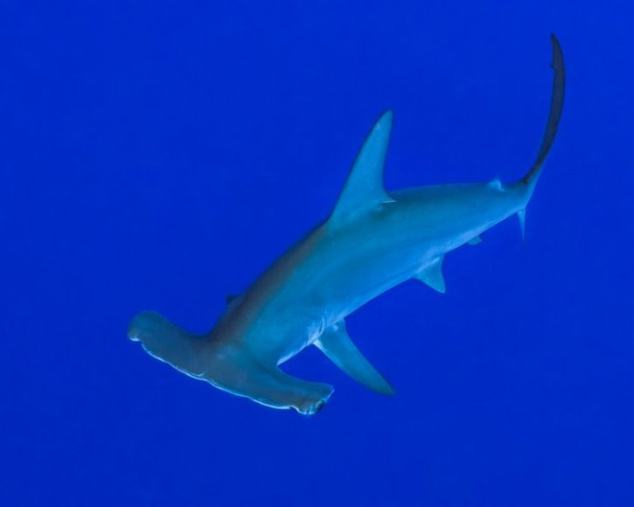 Scubatravel, Shark Quest, Hammerhead shark
