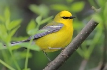 Photo of Blue-winged Warbler - Vermivora cyanoptera