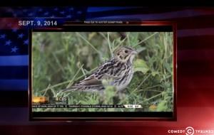 Colbert Report - Baird's Sparrow photo