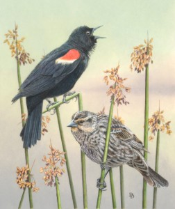 Pencil drawing of Red-winged Blackbirds - By Dorothy DePaulo