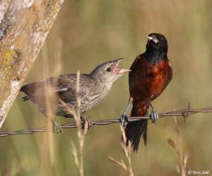 Orchard Oriole and Cowbird Fledgling