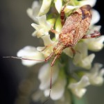 Photo of Clouded Plant Bug - Neurocolpus