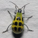 Spotted Cucumber Beetle - Photo