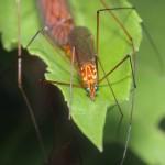 Tiger Crane Fly - Nephrotoma