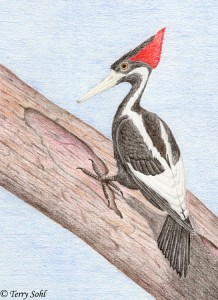 Drawing - Ivory-billed Woodpecker - Terry Sohl