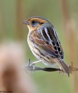 Nelson's Sparrow - Ammodramus nelsoni