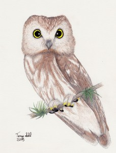 Colored pencil drawing of a Northern Saw-whet Owl - Aegolius acadicus - By Terry Sohl