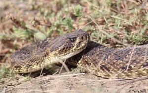 Prairie Rattlesnake - Crotalus viridis