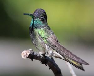Phot of magnificent hummingbird