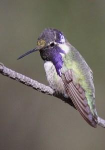 Photo of Costa's Hummingbird.