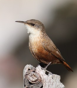 Photo of Canyon Wren