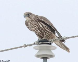 Juvenile Gyrfalcon - Falco rusticolus