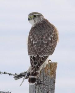 Merlin (Falco columbarius) with prey (Horned Lark)