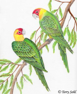 Carolina Parakeet - Drawing