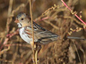 Harris's Sparrow - Zonotrichia querula