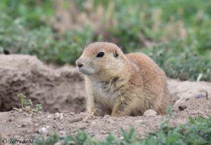 Prairie Dog - Teddy Roosevelt National Park