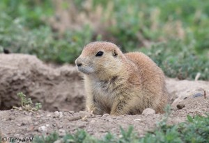 Prairie Dog - Teddy Roosevelt National Park