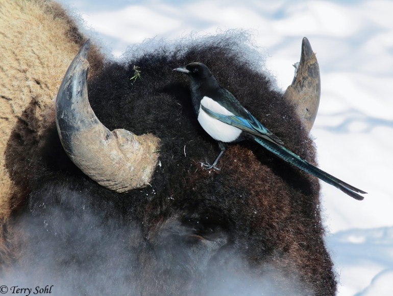 Black-billed Magpie (Pica hudsonia) and bull Bison