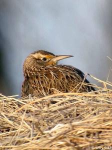 Western Meadowlark - Sturna neglecta