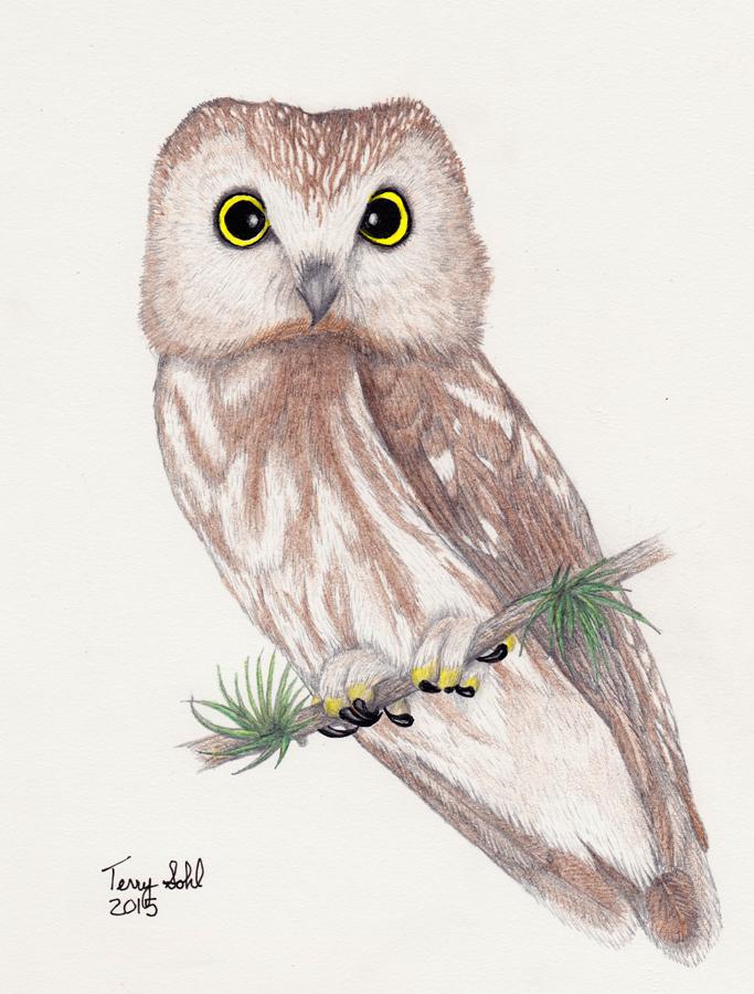 Northern Saw-whet Owl Drawing - Aegolius acadicus