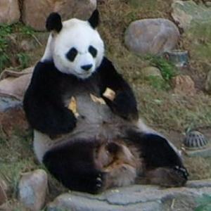"""Panda """"AnAn"""""""