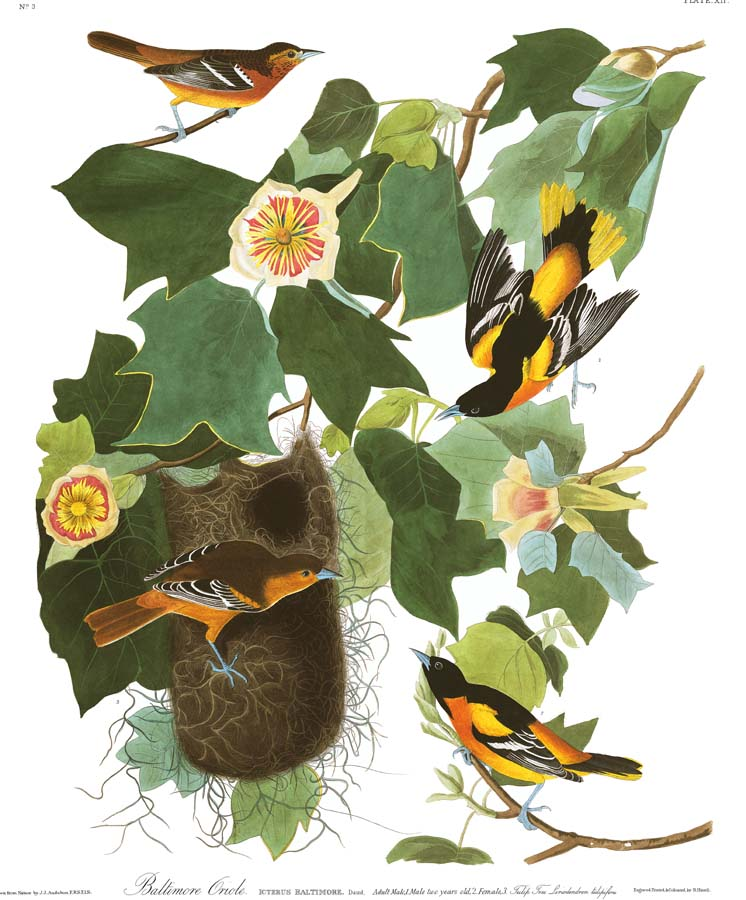 Audubon's Plate 12 - Baltimore Oriole