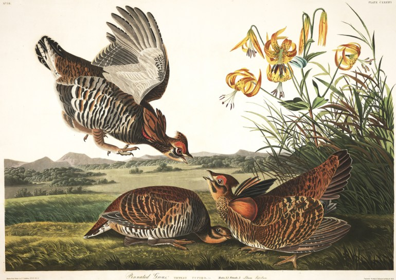 "Audubon Plate 186 - ""Pinnated Grouse"""