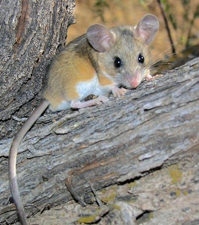 Prairie Deer Mouse - Peromyscus maniculatus bairdii