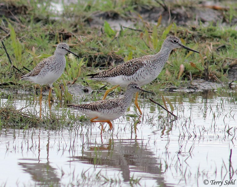 Greater and Lesser Yellowlegs - Comparison