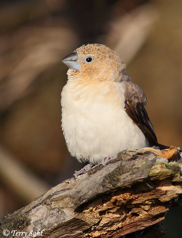 Photo of African Silverbill - Euodice cantans