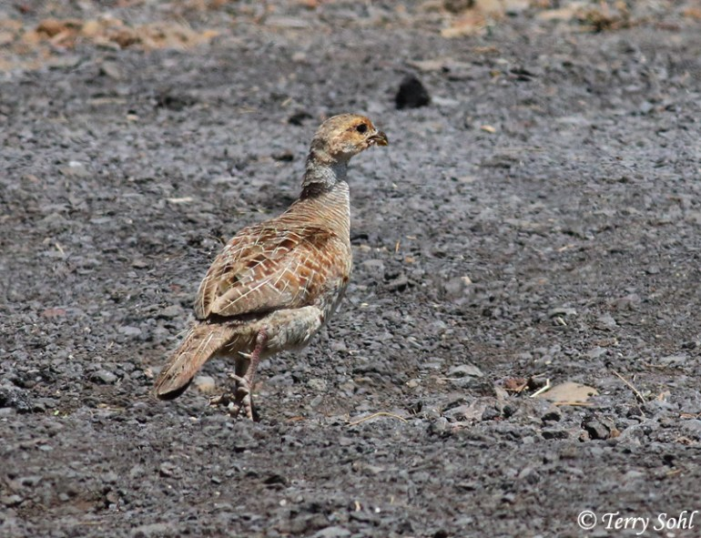 Photo of Grey Francolin - Francolinus pondicerianus