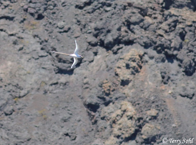 Photo of White-tailed Tropicbird - Phaethon lepturus
