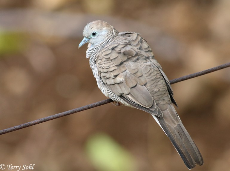 Photo of Zebra Dove - Geopelia striata