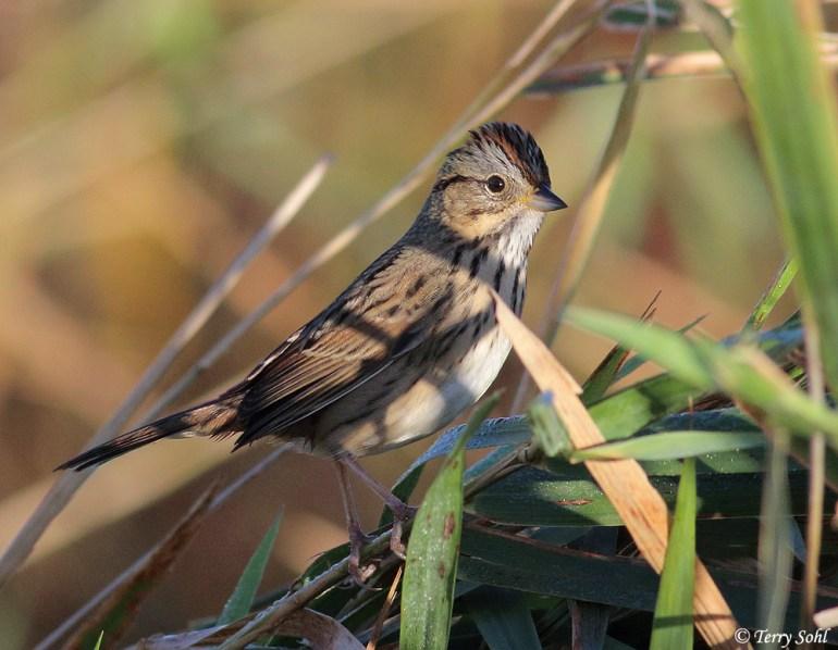Lincon's Sparrow - Melospiza lincolnii
