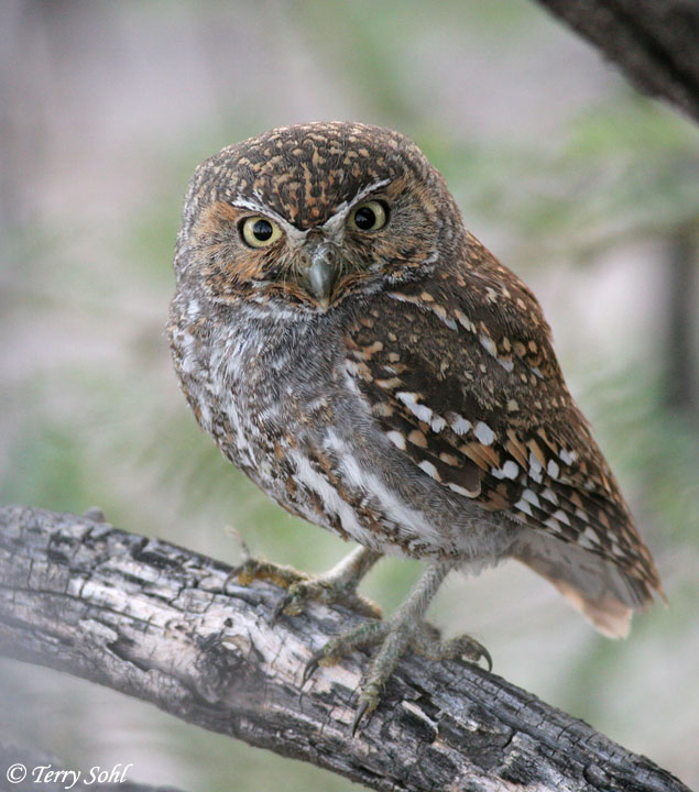 Elf Owl - Micrathene whitneyi