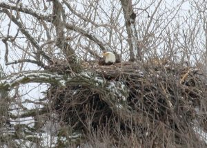 Nesting Bald Eagles - Haliaeetus leucocephalus