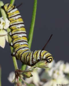 Monarch Caterpillar - Danaus plexippus