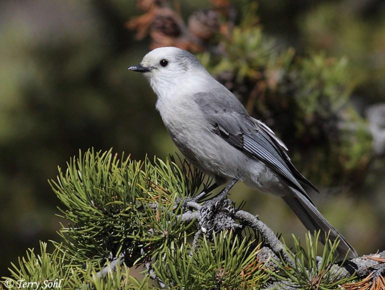 Canada Jay - Perisoreus canadensis
