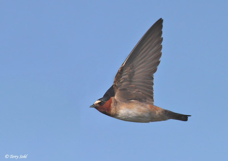 Cliff Swallow in Flight - Petrochelidon pyrrhonota
